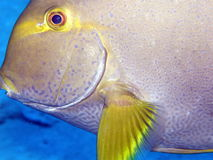 Close up of surgeon fish or tang Seychelles Stock Image