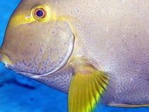 Close up of surgeon fish or tang Seychelles Stock Image