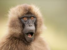 Close up of a surprised female Gelada monkey. Simien mountains, Ethiopia stock image