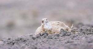 Close-up of Svalbard Ptarmigan grouse in the arctic stock footage