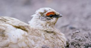 Close-up of Svalbard Ptarmigan grouse in the arctic stock video