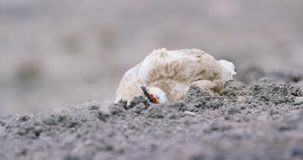 Close-up of Svalbard Ptarmigan grouse in the arctic stock video footage