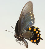 A Close Up of a Swallowtail Butterfly Stock Image