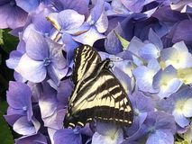 Close up Swallowtail Butterfly on Hydrangea Flower. Swallowtail butterfly resting on the flowers of a blue Hydrangea bush royalty free stock photography