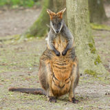 Close-up swamp wallaby Royalty Free Stock Image