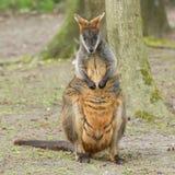Close-up swamp wallaby Royalty Free Stock Image