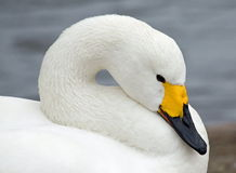 Close-up swan Royalty Free Stock Photos