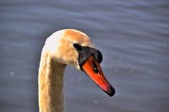 Close up of a swan Stock Photos