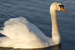 Close-up of swan Stock Photo