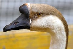 Close-up of a swan goose anser cygnaides stock photography