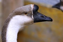 Close-up of a swan goose anser cygnaides stock images
