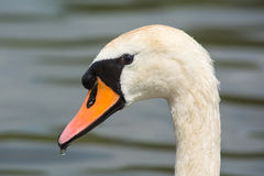 Close up of a Swan Stock Image