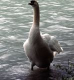 Close-up of a swan on the shore stock images
