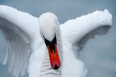 Close Up of Swan Stretching Wings Royalty Free Stock Photos