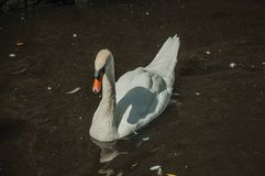 Close-up of a swan swimming in canal on a sunny day at Bruges. royalty free stock photos
