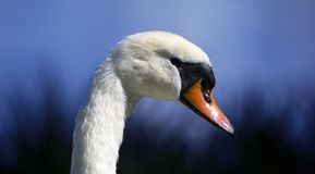 Swan with dark blue light of dusk. Close up of a swans head neck and beak on blue background of dusk Stock Image