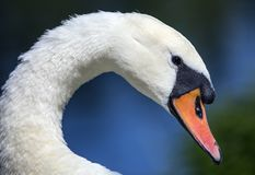 The swan close up image with blue background. Close up of a swans head neck and beak blue bokeh background Stock Images
