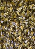 Close up of swarming bees Royalty Free Stock Photo