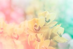 Close up of Sweet color orchid in soft color and blur style Royalty Free Stock Images