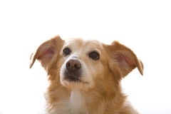 Close-up of Sweet Dog. Cute dog with floppy ears Royalty Free Stock Photography