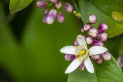 Sweet lime flowers in tree branch. it is also known as Palestinian sweet lime or Indian sweet lime or common sweet lime. Close up sweet lime flowers in tree royalty free stock image