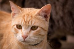 Close up of sweet looking orange tabby cat. Horizontal close up photo of sweet looking orange tabby. Cat is looking attentively at something out of camera view Stock Images