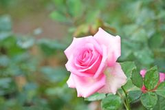 Sweet pink rose with water drops in garden. Close up Sweet pink rose with water drops in garden stock image