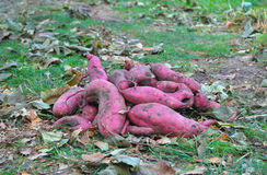 Close up on Sweet Potato Harvest with Autumn Leaves Background. Sweet Potato Harvest with Autumn Leaves Background. Organic Vegetables Farming Royalty Free Stock Photo