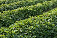 Close to green leaves, sweet potatoes. Stock Photography