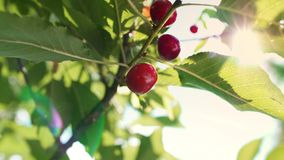 Sweet and ripe cherries on a branch. Close up of sweet and ripe cherries on a branch stock video