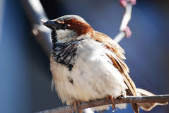 Close-up of sweet sparrow on a branch. Stock Images