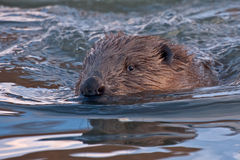 Close-up of swimming beaver Stock Photo
