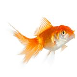 Close up of swimming goldenfish. Isolated on white. Concept of wish fulfilment and natural beauty stock image