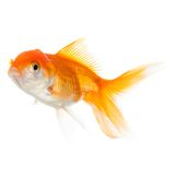 Close up of swimming goldfish. Isolated on white. Concept of wish fulfilment and natural beauty royalty free stock photography