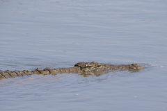 Close up of swimming Nile Crocodile Royalty Free Stock Photo