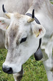 Close up of Swiss cow. With bell Stock Photography