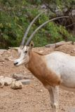 A scimitar oryx or scimitar-horned oryx Oryx dammah royalty free stock image