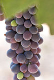 Close up Syrah grapes Stock Photos