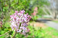 Close up Syringa Hyacinthiflora and blur background. Syringa Hyacinthiflora in the park in the spring in Stock Images