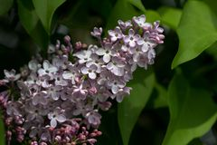 Lilac syringa tree. Close-up of syringa vulgaris common lilac branch in the spring garden, flowering woody plants Royalty Free Stock Photo
