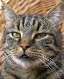 Close-up tabby cat. Tabby striped cat close-up stock images