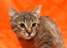 Close up of tabby cat Royalty Free Stock Images