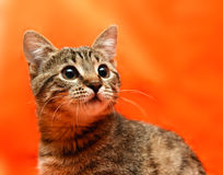 Close up of tabby cat Royalty Free Stock Photography