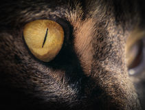 Close Up of Tabby Cat's Amber Eye Royalty Free Stock Photos