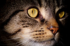 Close Up Of Tabby Cat's Face Royalty Free Stock Photos