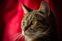 Close up of a tabby cat. Royalty Free Stock Photos