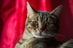 Close up of a tabby cat. Stock Photo