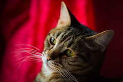Close up of a tabby cat. Royalty Free Stock Photo