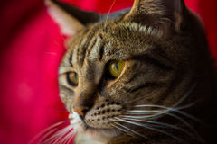 Close up of a tabby cat. Royalty Free Stock Image