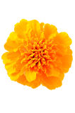 Close up tagetes flower Royalty Free Stock Photography